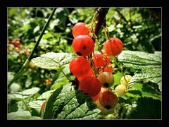 eigentlich fehlt jetzt nur noch die Sonne, dann kann das Ernten losgehen !!! (karin_b1966) Tags: plant nature garden bush berries natur pflanze beeren garten strauch johannisbeeren 2016 yourbestoftoday