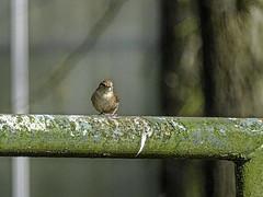 tiny dunnock on banister DSC00703 (seyjo) Tags: sky tree bird animal ast branch himmel aves dunnock perch baum prunellamodularis tier vogel heckenbraunelle seyjo