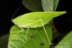 Katydid - Tettigoniidae (Hickatee) Tags: forest rainforest belize wildlife culture toledo jungle puntagorda katydid hickatee toledodistrict hickateecottages hickateebelize hickateepuntagorda