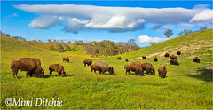 Where The Buffalo Roam (Mimi Ditchie) Tags: flowers panorama spring buffalo getty herd grazing gettyimages californiavalley buffaloherd highway58 grazingbuffalo mimiditchie mimiditchiephotography