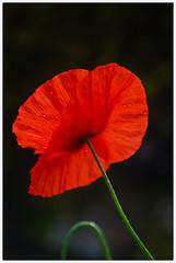 coquelicot (Denis Vandewalle) Tags: red flower macro nature fleur coquelicot macrophotography pentaxk5