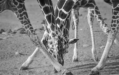 Legs, Hooves and Spots! (Ashwati Vipin - Back after hiatus) Tags: life africa travel family light wild vacation blackandwhite sun holiday love tourism home nature monochrome beautiful grass sunshine animals landscape photography nationalpark nikon kenya outdoor wildlife horizon conservation beautifullight places adventure safari journey experience giraffes wildanimal savannah prey wilderness migration majestic herbivores mammals lovenature wildlifesafari ecosystem biodiversity wildanimals ecotourism naturephotography riftvalley eastafrica africansafari nikoncamera naturelove wildsafari loveanimals wildlifephotography animallove nikonusers wildafrica adventureholiday wildlifeconservation africanlandscape nikonlove nikoncameras nikonclub olpejeta nikond5000 wildlifelove savannahlandscapes nikond5000users olpejetawildlifeconservancy