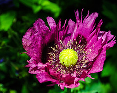 Schlafmohn - Papaver somniferum (Kat-i) Tags: flower macro bayern deutschland purple lila kati blume makro katharina papaversomniferum 2016 schlafmohn nikon1v1