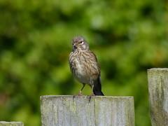 Linnet  (F)  P1250231 (ianpreston) Tags: northumberland bamburgh eastcoast linnet 2016 bamburghcastle biirds