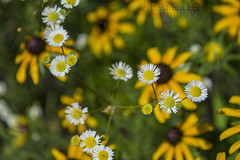 Wildflowers (J.L. Ramsaur Photography) Tags: flowers flower macro nature closeup rural outdoors photography whiteflower photo nikon dof bokeh tennessee pic depthoffield yellowflower lynchburg photograph wildflowers thesouth roadside macrophotography ruralamerica closeupphotography 2016 roadsideflowers flowerpetal middletennessee ruraltennessee ruralview lynchburgtennessee ibeauty tennesseephotographer southernphotography screamofthephotographer jlrphotography photographyforgod d7200 moorecountytn engineerswithcameras godsartwork naturespaintbrush jlramsaurphotography nikond7200 photosfindyou
