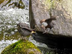 Feeding time (ralph_behrens) Tags: bird nature birds natur olympus vgel harz vogel omd oly niedersachsen lowersaxony badharzburg cincluscinclus whitethroateddipper eurasischewasseramsel omdem1 olympusomdem1