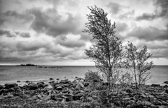 Cloudy day on the west coast (- Man from the North -) Tags: trees sea blackandwhite bw water monochrome clouds finland island photography coast nikon cloudy rocky wideangle scene shore dramaticsky westcoast wideanglelens samyang gulfofbothnia nmpns nikond7000 samyang14mmf28