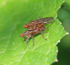 Are they blushing? 24.5.16. (VolVal) Tags: may insects dorset flies bournemouth iford