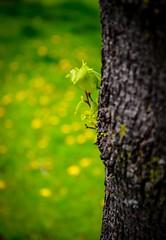 Sprout (new life) (vinnie saxon) Tags: tree green nature yellow leaf nikon bokeh treetrunk sprout d600 bokehlicious nikoniste