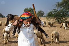 (Shyjith Kannur Photography) Tags: travel portrait people sheep culture tribal farmer shep sheppard rajasthan