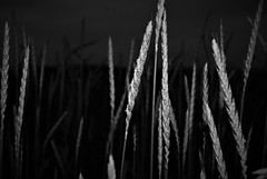 (Mango*Photography) Tags: life old light abstract reflection nature colors field barley evening corn artistic creative surreal photoraphy conceptual giulia bergonzoni