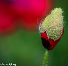 """Weeds are flowers too, once you get to know them."" ~A. A. Milne   #DandelionSeed  #PoppyBud #Poppy #PoppyField #WildPoppies #WildFlowers #Flower #Red #FieldsOfRed #Contrast #Pattern #PatternLife #Nature #NatureLover #InstaNature  #FlowersOfInstagram #Ins (Sarwat Baig) Tags: red flower nature beautiful contrast pattern potd poppy wildflowers naturelover poppyfield poppybud dandelionseed wildpoppies fieldsofred dandelionlove patternlife instaflower instanature flowersofinstagram"