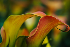 colourful calla馬蹄蓮 (elenaleong) Tags: flowers nature colors lines singapore curves callalily gbb flowerdome 馬蹄蓮 gardenbythebay