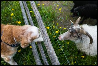 22/52 Nick & His Sheep Friend Sofie