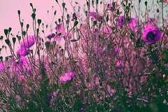 Visions (sian12perjuga) Tags: fleurs vision sauvages coquelicots pourpre lecannet potique