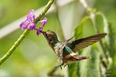 HumBird-0579 (trini1112) Tags: birds trinidad trinidadandtobago yerette nordeancanvas