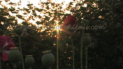 Danish Flag Papaver Somniferum Opium POPPY Pods n Flowers by- OrganicalBotanicals_Com 17 (gjaypub) Tags: flowers plants nature silhouette photography pod photos gardening bees seed seeds poppy poppies growing opium pods cultivation papaver somniferum morphine cultivating papaversomniferum 2016 potency poppyhead alkaloids organicalbotanicals