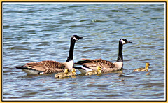 A New Beginning (bigbrowneyez) Tags: goslings canadageese goose beautiful precious amazing feathers wings water ottawariver andrewhaydenpark ottawaontario canada sunny sun afternoon bright bella bellissima ripples flickrfamily fun fabulous delightful swimming enjoyment happy protective special clarity focus detail anewbeginning summer estate shimmery sweet dolce