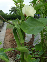 Lady's fingers (Lim SK) Tags: finger vegetable ladys mallow okra