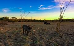(pedrobilac) Tags: blue sky animals pig cu pedro bahia pigs animais xl nordeste porco 640 lumia bilac boquira