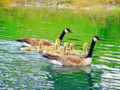 Introducing our new resident family on Bluebird Estates (peggyhr) Tags: lake canada goslings alberta canadageese thegalaxy peggyhr heartawards bluebirdestates thegalaxyhalloffame thelooklevel1red thelooklevel2yellow thelooklevel3orange thelooklevel4purple thelooklevel5green redlevelno1 arborsquare~anaturegroup~ rainbowofnaturelevel1red myhatsofftoyou dsc05905a
