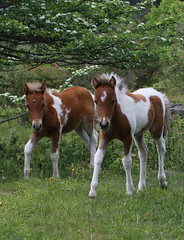 partners (csnyder103) Tags: wildponies foals babes ponies feral wild equines graysonhighlands graysonhighlandsstatepark mountrogersnationalrecreationalarea