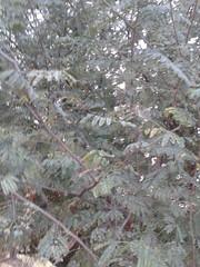 6 (Albizia amara) (Dr.S.Soundarapandian) Tags: india tree krishna tamilnadu pods amara antioxidant albizia siris usilai unjai