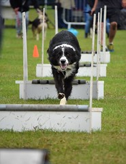 Banbury Cross Flyball - Target Focused