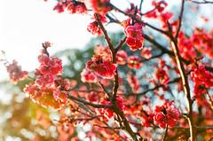 [047/365] (Jintoki.photography) Tags: film japan kyoto blossom plum olympus om10 ume hanami    shozenji
