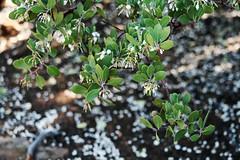 (wmpe2000) Tags: flowers white green sedona hike shrub devilsbridge 2016 jojoba simmondsiachinensis simmondsiaceae ordereuphorbiales devilsbridgehike jojobafamily
