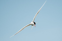 Common Tern (sterna hirundo) (phat5toe) Tags: nature birds nikon wildlife gull flight feathers tern avian wigan flashes d300 sternahirundo greenheart sigma150500
