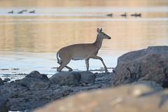 Calf stepping on mainland (Tuomo Nyknen) Tags: swim suomi finland deer whitetailed whitetaileddeer odocoileusvirginianus peura valkohntpeura