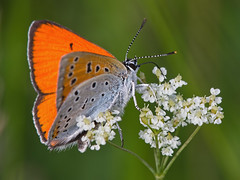 Large Copper (FocusPocus Photography) Tags: orange macro animal butterfly insect makro wildflower insekt rare tier schmetterling wildblume lycaenadispar largecopper selten groserfeuerfalter