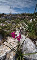 bright (Apodidae) Tags: spain flora es planten bloemen andratx rotsen illesbalears