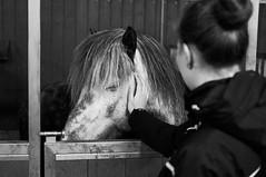 (Leo Hernn) Tags: portrait horse west animals iceland indoor roadtrip stable icelandic westfjords