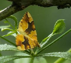 Barred Yellow - Cidaria fulvata (magpie280168) Tags: linfordlakesnaturereserve llnr barredyellow moth