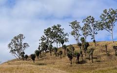 grasstrees at Old Grevillea (dustaway) Tags: winter landscape windy sunny australia nsw hillside australianlandscape grasstrees australianflora northernrivers xanthorrhoeaceae australianplants richmondvalley oldgrevillea