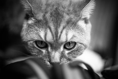 IMGL6911.jpg (k.jenchik) Tags: portrait bw pet cat canon meow bnw scotish 50mmf18 czj pancolar homepet scottishstraight