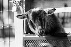 Nigerian Dwarf Goat (dpsager) Tags: bw film goat brookfield eos1v fujineopan400 nigeriandwarfgoat canoneos1v zoosofnorthamerica dpsagerphotography