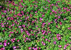 Purple poppy mallow (ali eminov) Tags: flowers mallow collegecampus floweringplants callirhoe poppymallow waynestatecollege purplepoppymallow