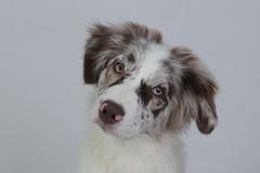 Ivy (StarryEyedAussie) Tags: blue red dog dogs puppy shepherd sheepdog australian hund aussie merle hunde welpe welpen htehund dogtricks trickdog junghund aussiebrooke aussieivy