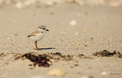 Piping Plover Chick 2 (NYC Wild) Tags: county baby ny bird suffolk chick endangered piping plover fluffball threatened b16 nycwild