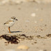 Piping Plover Chick 2