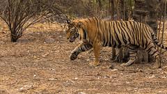 TIG01093GB_1 (giles.breton) Tags: india tiger tigers endangered ranthambhore panthera threatened andyrouse ranthambhorenationalpark pantheratigristigris royalbengaltiger dickysingh
