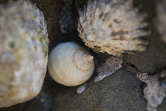 Sea Snails (Alexander Jones - Documentary Photography) Tags: sea west macro up wales photography nikon close south shell documentary snail sands pembrokeshire limpet limpets marloes d3000