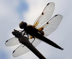 Libellula Depressa (yantrax) Tags: sky nature animal silhouette insect wings natural outdoor natur insekt fllying flgel weiserhintergrund