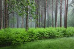 High Weald Mist (Alan MacKenzie) Tags: trees mist fern fog forest woodland sussex conifer highweald
