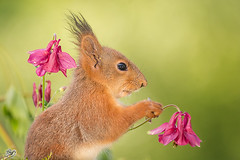 in the mids (Geert Weggen) Tags: light red summer plant flower cute nature animal closeup mammal happy rodent moss spring squirrel funny bright head ground openspace geert perennial weggen ilobsterit hardeko
