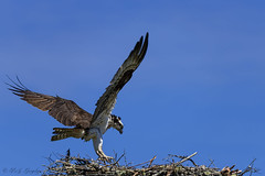 Touching Down (20160617-115410-PJG) (DrgnMastr) Tags: bravo fb cropped osprey littlestories avianexcellence diamondclassphotographer flickrdiamond overtheexcellence goldwildlife naturesspirit picswithsoul naturescarousel dmslair sunshinegroup grouptags allrightsreserveddrgnmastrpjg pjgergelyallrightsreserved ia74