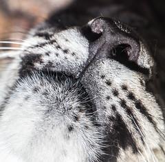 ich kann dich gut riechen / I can smell you good (konstantin oxy) Tags: animal zoo karlsruhe nase bigcats snowleopard tier schneeleopard raubtier